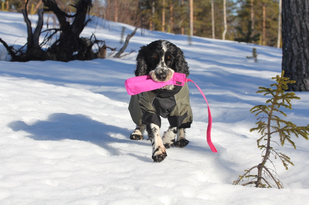 Mascha in Schweden- Cocker Spaniel